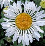 Lacrosse daisy